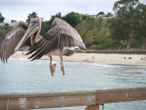 Pelican taking off closeup Royalty Free Stock Photos