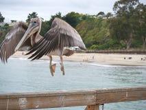 Pelican taking off closeup. Closeup of a Pelican taking off.  At Santa Cruz California. Large heavy bird but an excellent flier Royalty Free Stock Photos