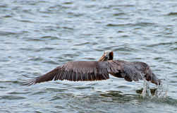 Pelican - Taking Off Royalty Free Stock Photo
