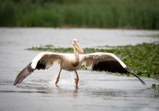Pelican taking off towards camera stock photography
