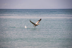 Pelican Taking Off in the Water Royalty Free Stock Image