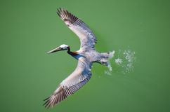Pelican flying over water overhead view. Overhead view of a pelican taking flight off of the water with outstretched wings Stock Photo