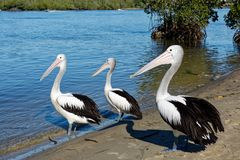 Pelican three brothers stock images