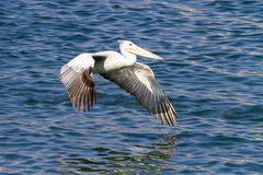 A pelican about to land in the harbor at Durban in South Africa. royalty free stock image