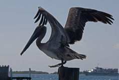 Pelican about to take off from boat dock on boat dock post on Isla Mujeres island just off the Cancun coastline of Mexico Royalty Free Stock Photo