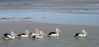Pelican Train Royalty Free Stock Photos
