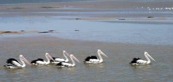 Pelican Train. Pelicans at The Entrance, Australia Royalty Free Stock Photos
