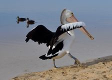 Pelican:a Treasure Found and Wings Outstretched royalty free stock image