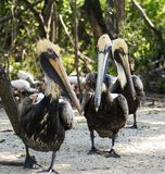 Pelican trio. Three pelicans waddling along the shore Royalty Free Stock Images