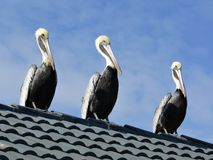 Pelican trio Royalty Free Stock Photo