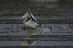 Pelican trying to takeoff. With feet pushing and wings flapping this Pelican will take flight Royalty Free Stock Image