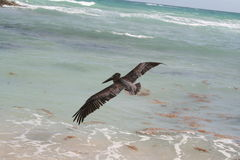 Pelican in Tulum Beach - Mexico Royalty Free Stock Image