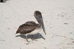 Pelican in Tulum Beach - Mexico Royalty Free Stock Photo