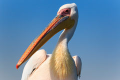 Pelican up close Royalty Free Stock Images