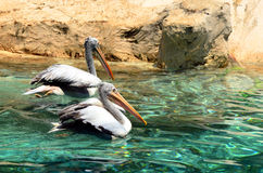 Pelican. In the valencia oceanografic royalty free stock photo