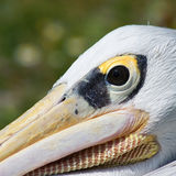 Pelican, very close. Very closeup picture of a pelican Stock Photography