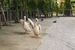 Pelican is very important. Two pelicans stand and show wings Royalty Free Stock Photos