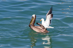 Pelican vs sea gull Stock Image