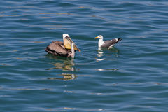 Pelican vs sea gull Stock Photo