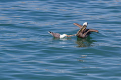 Pelican vs sea gull Royalty Free Stock Images
