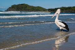 Pelican Wading. An Australian Pelican in shallow water on the ocean shoreline Royalty Free Stock Images