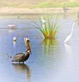 Pelican wading. Egrets duck pelican wading in sunlit bird habitat in Malibu California royalty free stock photo