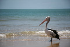 Pelican Waiting Royalty Free Stock Image