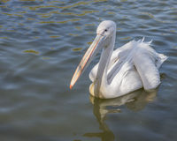 Pelican waiting for feeding Stock Photo
