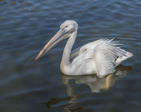 Pelican waiting for feeding Royalty Free Stock Photo