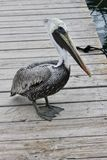 A pelican is waiting for some fish stock photos