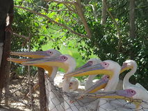 Pelican. Waiting for their breakfast - lovely creations Royalty Free Stock Photography