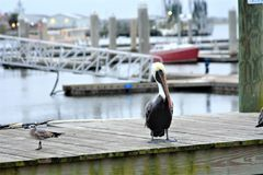 A pelican waits by a seagull looking for a handout from the local baitshop. Seagulls are voracious hunters in marinas and along the shoreline of the Atlantic stock photo