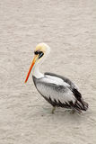 Pelican walking. Peruvian Pelican (Pelecanus thagus) walking at the beach in Paracas, Peru stock image