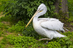 Pelican walking among green foliage in the bird cage open Royalty Free Stock Photography