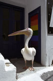 Pelican walking through the street of Chora city. Stock Images