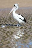 Pelican walking on tidal flat. A pelican walks up the beach to inspect a fish head Stock Image