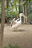 Pelican walking. Pelican at the zoo of Curitiba, Brazil Royalty Free Stock Photography
