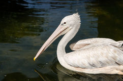 Pelican. For wallpaper or background text Stock Photos