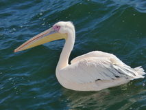 Pelican. This pelican was photographed  from a  boat  in  atlantic   ocean in  Namibia.It  was  looking  for  a  morsel  from  its  human  friends Royalty Free Stock Image