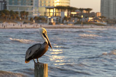 Pelican Watch At Clearwater Beach Stock Photography
