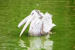 Pelican watching for fish Royalty Free Stock Photography