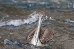 Pelican in water Royalty Free Stock Photo