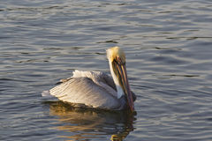 Pelican in Water Stock Images
