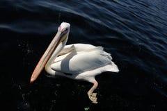 Pelican in water stock images