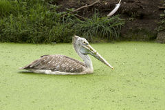 Pelican in water Stock Photo