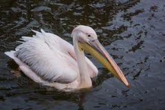 Pelican in water Stock Image
