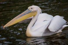 Pelican in water Stock Photography