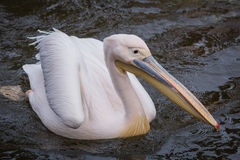 Pelican in water Royalty Free Stock Photography