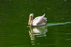 Pelican in water royalty free stock image