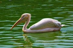 Pelican in water Royalty Free Stock Images